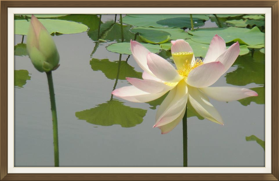 Lotus in Full Bloom and Lotus Bud